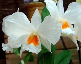 Орхидей все о орхидеях типы орхидей