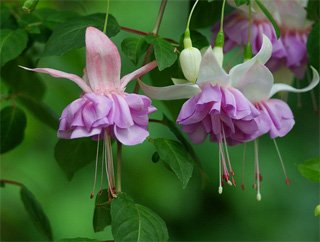 Домашние цветы фикуса 96