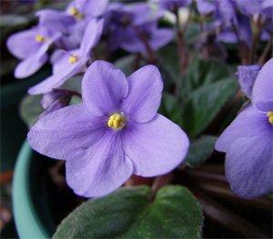 Нежные цветки фиалки