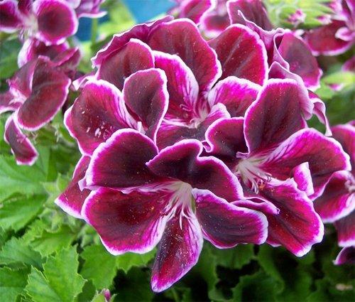 Pelargonium Imperial