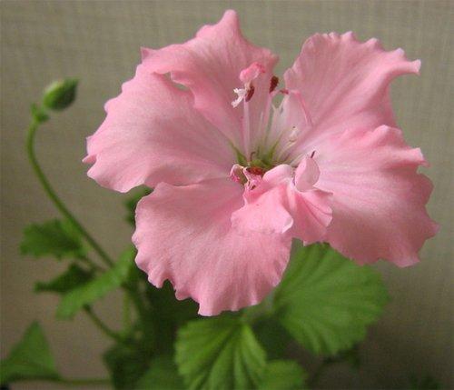 Pelargonium Pink Mikado