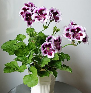 Pelargonium regal