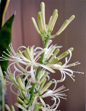 Цветок сансевиерии