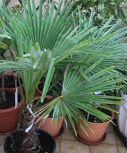 Веерная пальма